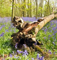 Fallen tree and spring flowers
